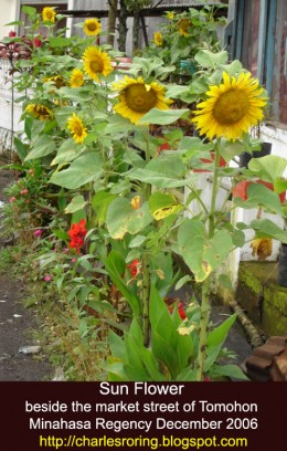 sun flowers at a road side in Tomohon town