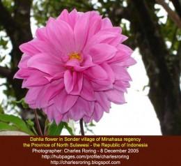 Dahlia flower from Sonder village in Minahasa regency of Indonesia