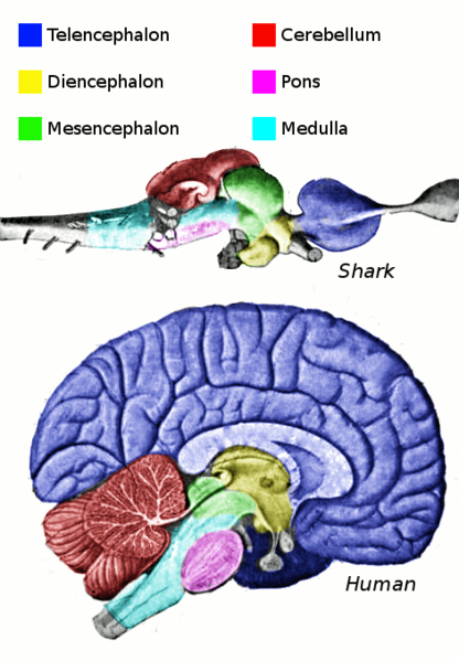 Human Brain diagram compared to a shark's brain.