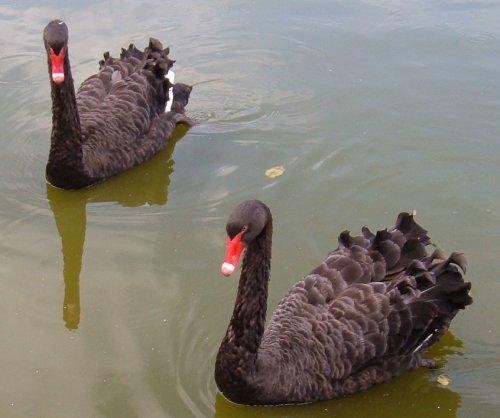 Black swans. Photo by Steve Andrews