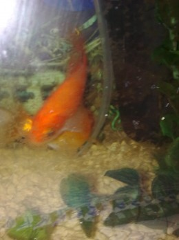 My goldfish do not like having their photos taken - I think I may have just blinded them with the flash.