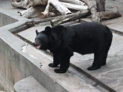 Bear in Kharkov Zoo
