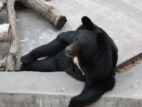 Bear in concrete cell
