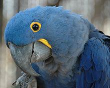 Hyamcinth Macaw