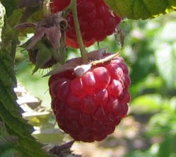 Home Grown Raspberries are Easy and Money Making