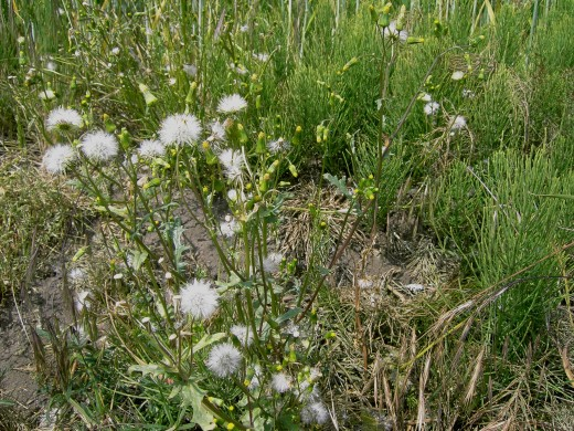 The white pappus give rise to the genus name.