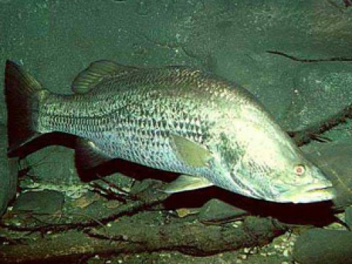 Barramundi - a great Aussie fish.