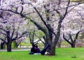 A Comparison/Contrast of Matsuo Basho's Under Cherry Trees and W.C. Williams' The Red Wheelbarrow