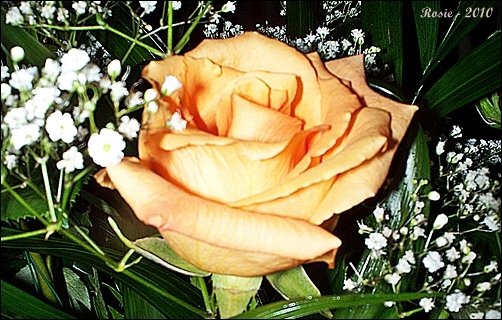 Orange Rose, photo by Rosie2010 - Photography as a Hobby