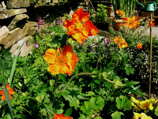 GEUM LIKE THIS ORANGE SPECIES HAVE RHIZOMES THAT  OFTEN APPEAR ABOVE THE GROUND.