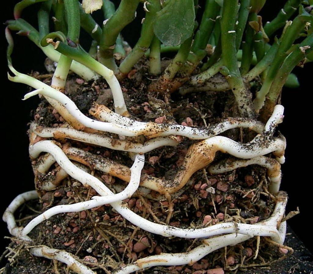 Root rhizome