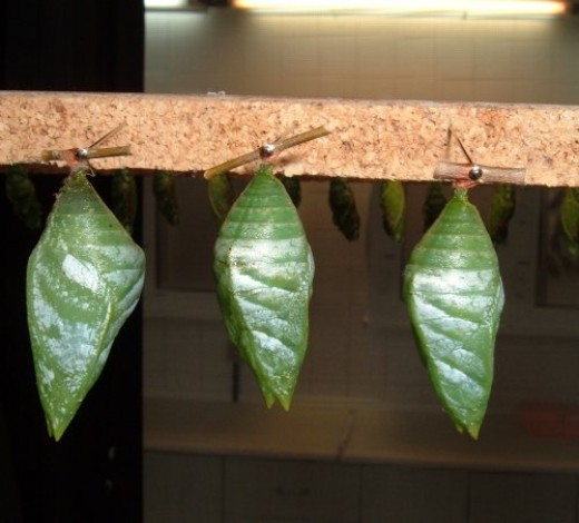 More chrysalises