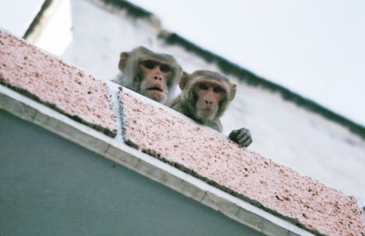 Just us monkeys, Brain surgery, anyone?