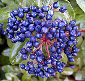 Blue berries of Viburnum