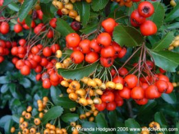 Red and golden berries of Pyracantha
