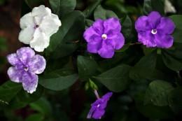 Yesterday, Today and Tomorrow (Francuscea latifolia)