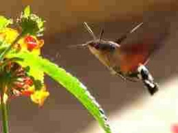 Looking just like a hummingbird, the Hawk Moth having breakfast photo credit writingfor mercy.blogspot.co