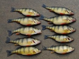 A nice catch of yellow perch.