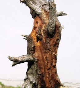 Damage caused to bonsai tree by wood boring insects