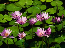 Life-we are all like water lillies sharing the same pad. Different sizes and shapes yet still beautiful.  Life would be quiet and lonesome with only one lilly in the pad.