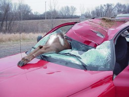 Dangerous Deer Strike Accident