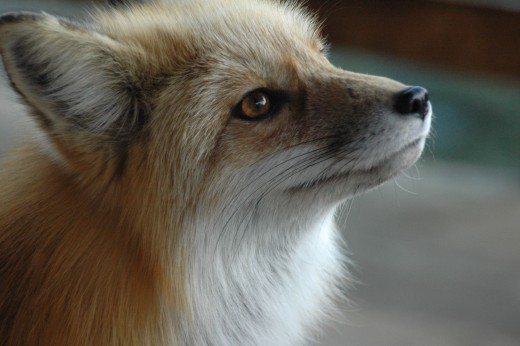 There's something that touches us to our very core when we look at a fox