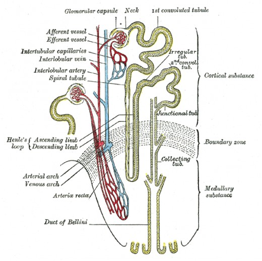 Function of nephron