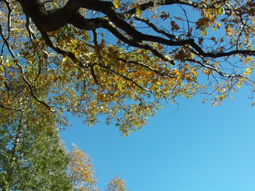 The sky with the branches of a mighty oak tree.