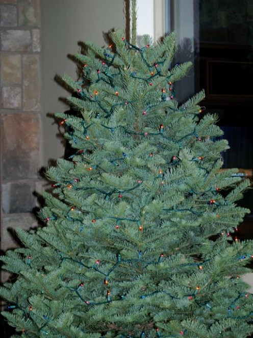 Real Christmas tree with lights - ready to decorate!