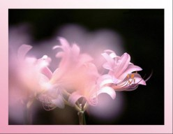 Lilies and Life's Transitions
