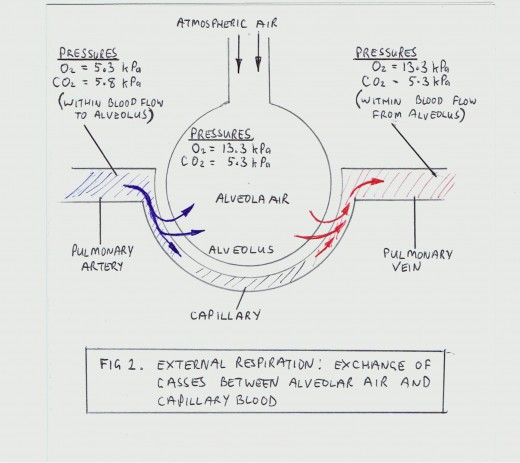 exchange of gasses Gas exchange: the primary function of the lungs involving the transfer of oxygen  from inhaled air into the blood and the transfer of carbon dioxide from the blood.