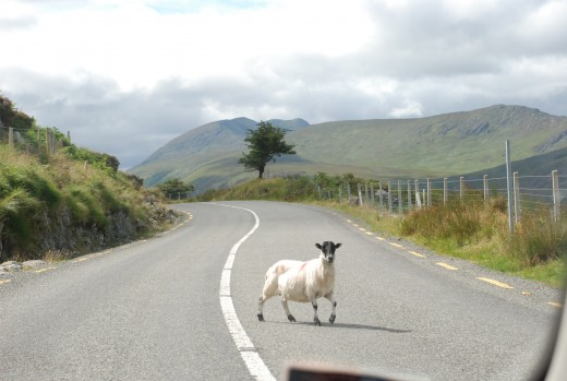 Random sheep on the road