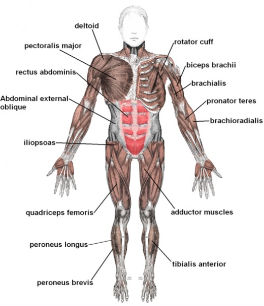 Muscular system of human beings