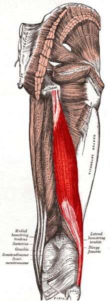 The biceps femoris is a large muscle located in the back of the thigh.