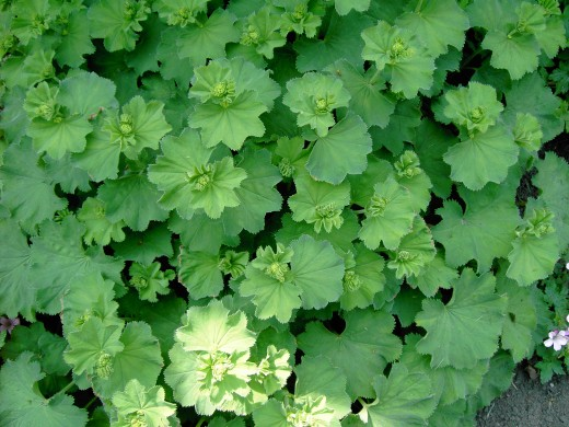 The scalloped margins of Lady's mantle, are palmately lobed.