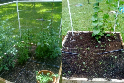 Left- partially fenced garden; Right- garden after the dogs destroyed it