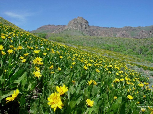 A field of Mule Ears with Hinkey summit in the back ground