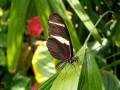 The Doris Longwing Butterfly