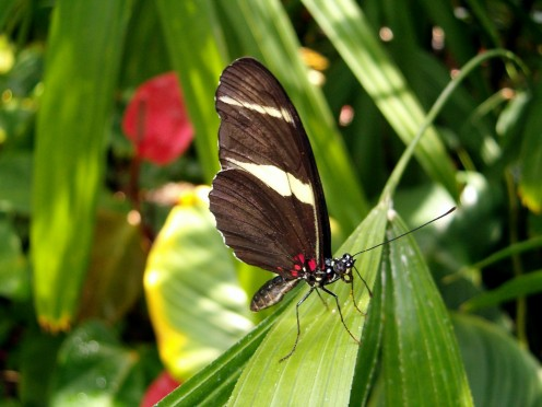 The Doris Longwing butterfly, resting on a leaf with its wings closed.