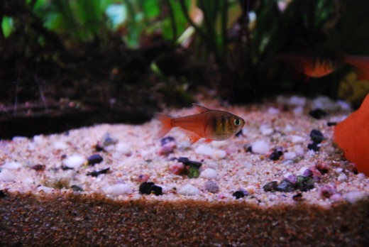 Choosing a substrate for your aquarium sand or gravel for Fish tank sand