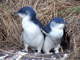 BLUE PENGUIN OR FAIRY PENGUIN
