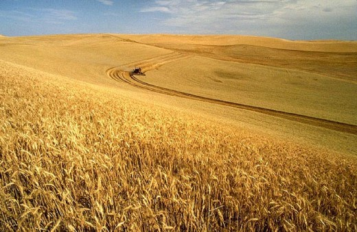 Wheat harvest on the Palouse, Idaho, USA