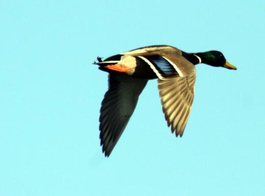 Drake in flight