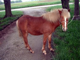 Red the sweet little Shetland Pony who found nurturing and help at our country sanctuary.