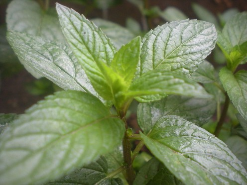Peppermint, one of the best herbs for indigestion