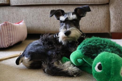My new puppy, Rory Calhoun