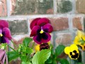 The Pansy Flower - Some Facts and Photos