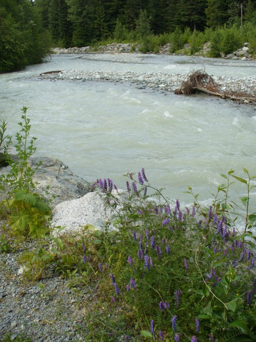 Some pretty wildflowers by the river that runs through Whistler