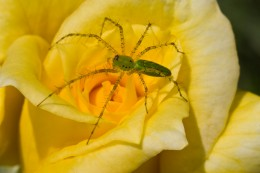 Macro image - green spider was about 1 inch in length.