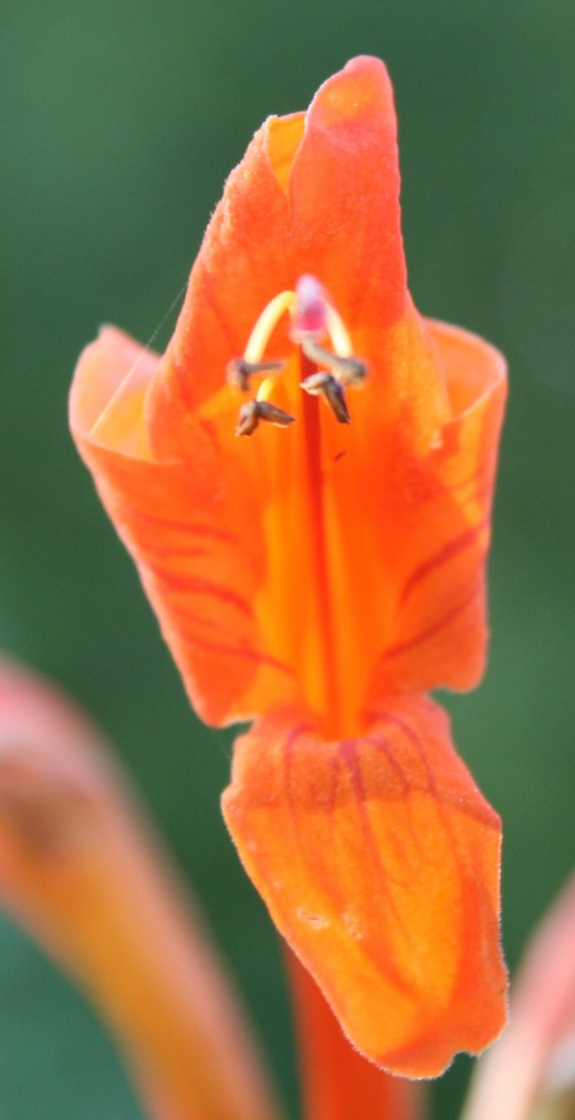 Tecomaria capensis, one of my favourite South African flowers. Photo Tony McGregor